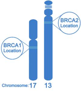 brca1-2